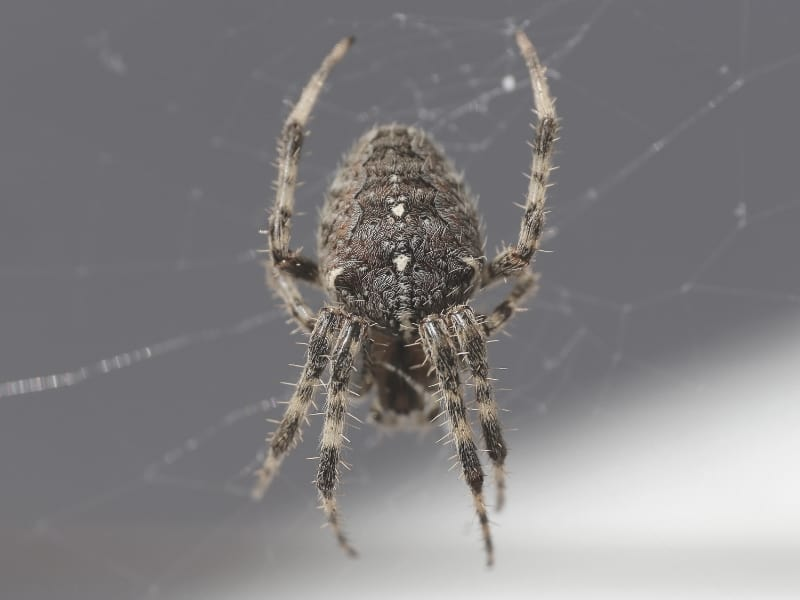 closeup of brown spider on web