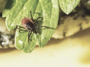 brown tick on leaf