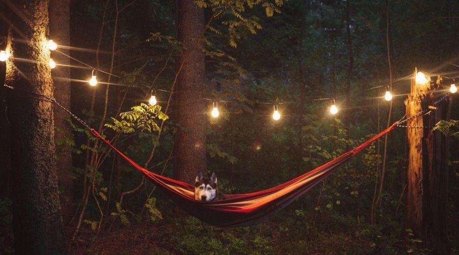 husky in hammock